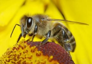 declin-abeilles
